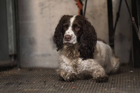 A working springer spaniel waiting in the beaters wagon Stock Photo