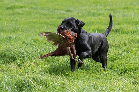 Black labrador retrieving a pheasant across a grass field