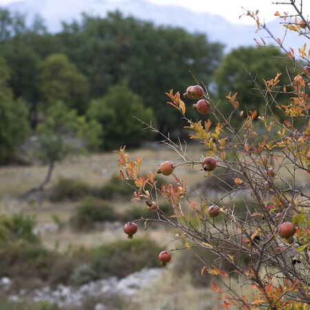Close-up of pomegranates growing on tree, Karce, Trivet, Montenegro 스톡 콘텐츠