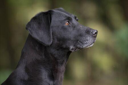 A portrait of a black labrador
