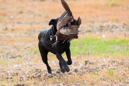 Black labrador retrieving a male pheasant