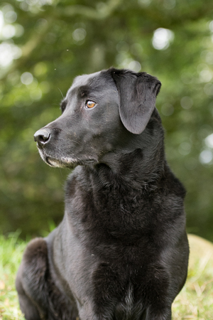 A portrait of a black labrador
