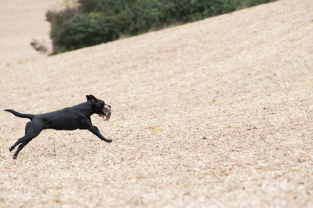 A black labrador retrieving a partridge