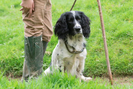 Portrait of a working springer spaniel gundog