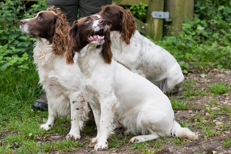 A trio of liver and white springer spaniels