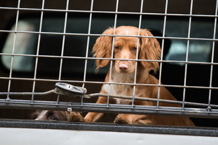 A cocker spaniel in a car ready to start the shoot day Stock Photo