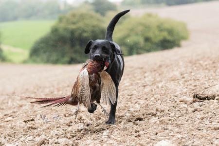 A working black labrador retrieving a cock pheasant in the rain