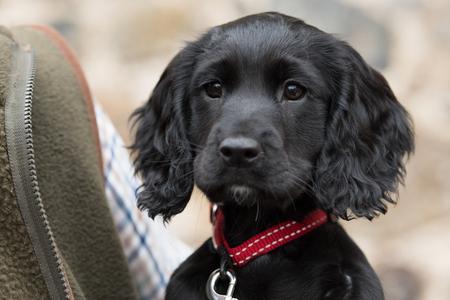 Un futuro cane da tiro; cucciolo di cocker spaniel da lavoro
