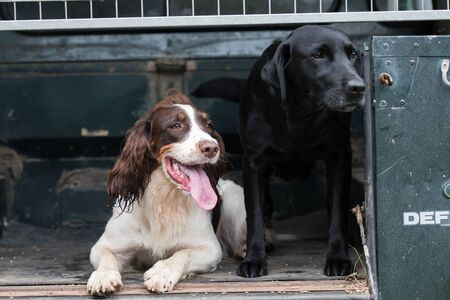 Tri-coloured spaniel and black labrador waiting to go to the next game drive