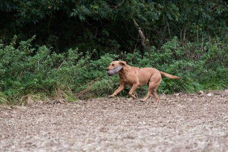 A fox red labrador retrieving a partridge