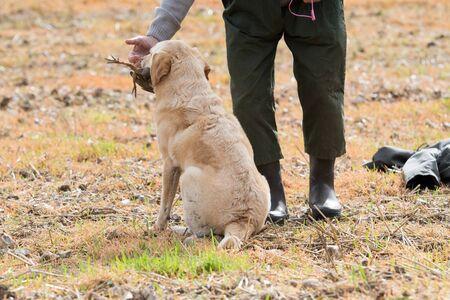 A yellow labrador retrieving a partridge 스톡 콘텐츠