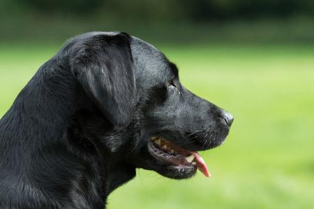 Working black labrador portrait 스톡 콘텐츠