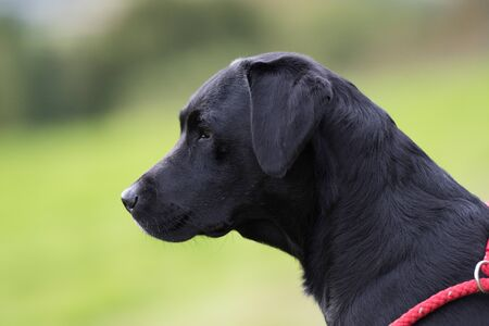 Working black labrador portrait 版權商用圖片
