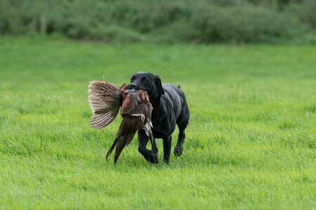 Black labrador retrieving a pheasant across a grass field