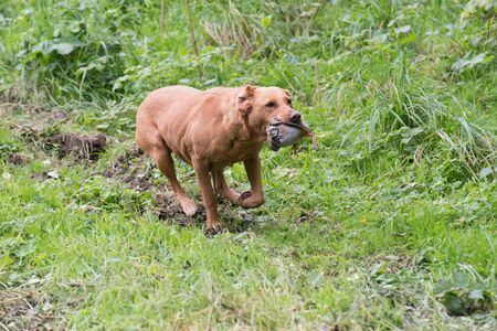 A fox red labrador retrieving a partridge