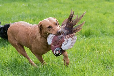 A fox-red working labrador retrieving a pheasant
