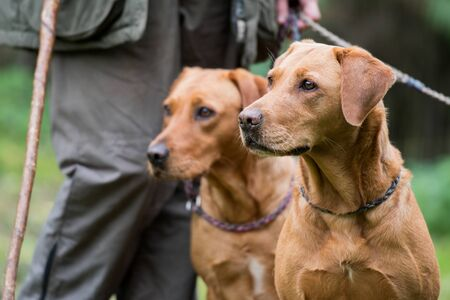 Two fox red working labradors