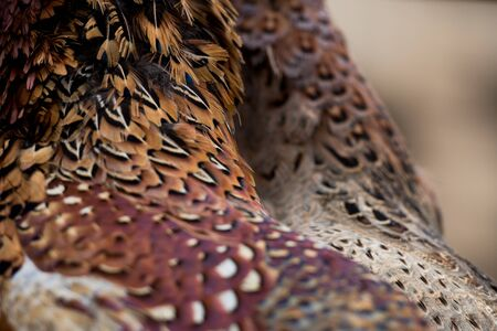 Hen and cock pheasant feathers
