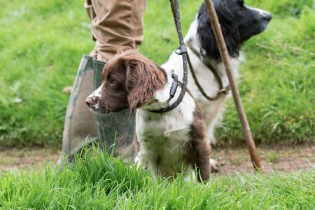 Springer spaniel gundog puppy, in liver and white with an adult black and white dog in the background with their master