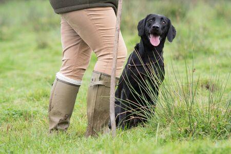 A working black labrador at heel 版權商用圖片