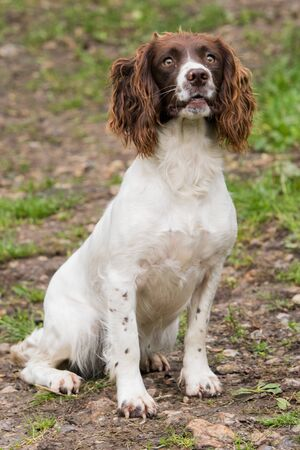 Liver and white springer spaniel, working gundog Reklamní fotografie