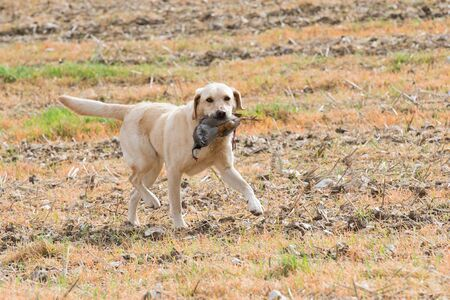 A yellow labrador retrieving a partridge 版權商用圖片