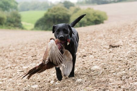 A working black labrador retrieving a cock pheasant in the rain