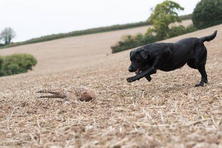 A black labrador eagerly retrieving a hen pheasant