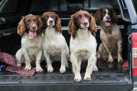 Four working springer spaniels waitiing in a car