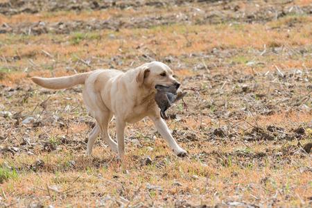 A yellow labrador retrieving a partridge Stockfoto