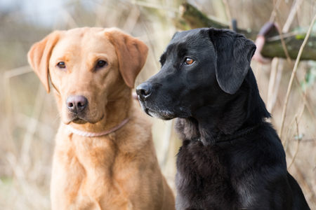 Working yellow and black labradors Stock Photo
