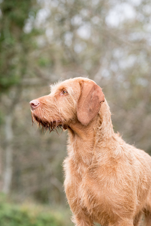 Portrait of a wire-haired Hungarian vizsla