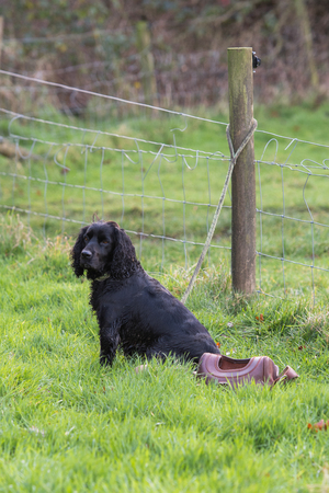 A working cocker spaniel tied to a fence on the peg during the drive