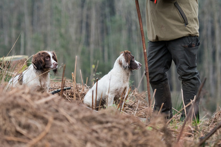Portrait of a working liver and white springer spaniel on a game shoot