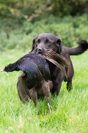 A black labrador retrieving a melanistic male pheasant 版權商用圖片