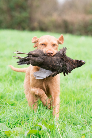 Wire-haired Hungarian vizsla retrieving a melanistic hen pheasant