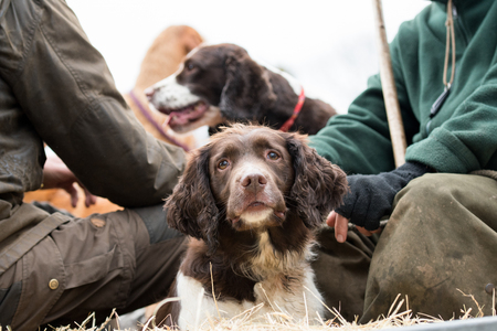 Liver and white springer spaniel in the beaters wagon