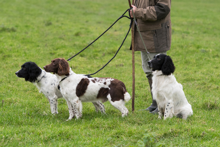 Working springer spaniels on leads, waiting to pick up