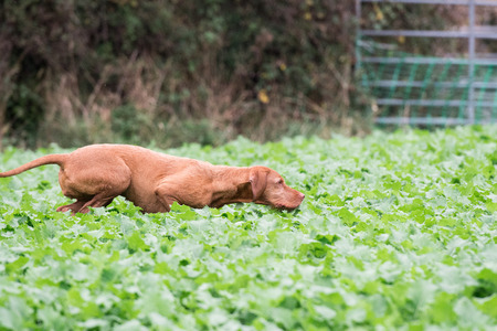 Wire-haired Hungarian Vizsla running in a field of kale