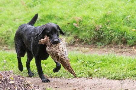 A black labrador retrieving a hen pheasant