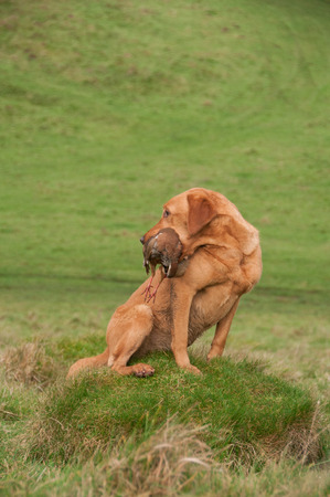 A fox red labrador, working gundog, holding a partridge