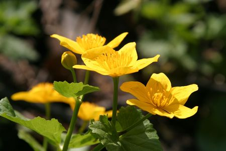 palustris: Bright yellow marsh marigolds (Caltha palustris)