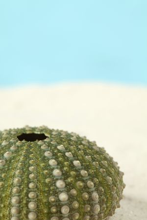 Green sea urchin on sand. Shallow dof, copy space photo