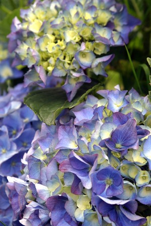 Blue hydrangea Stock Photo - 7387076