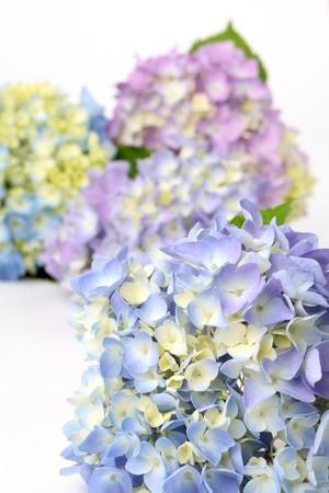 hydrangea flower: Blue and purple hydrangea. Shallow dof