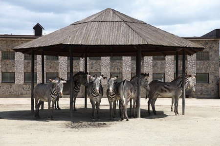 Zebras chilling in the shade in the ZOO photo