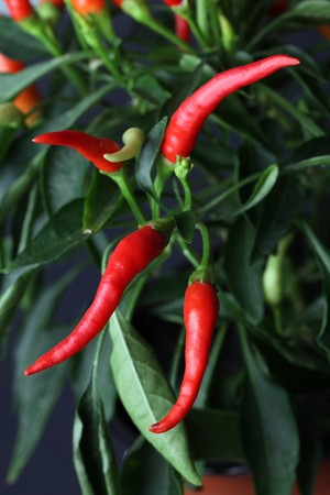 Close-up of chili pepper plant. Shallow dof