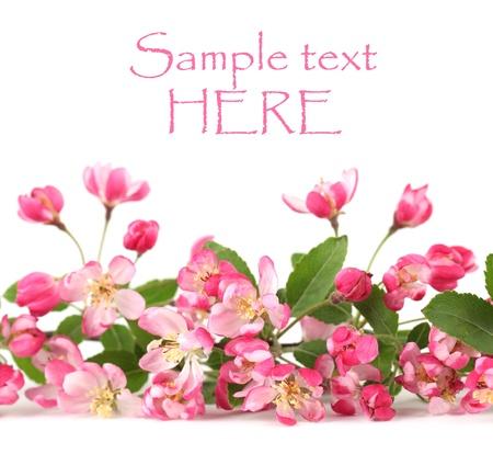 Confine fatta di fiori di primavera rosa isolati su sfondo bianco Archivio Fotografico - 8878173