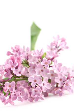 Pink lilac on white background photo