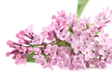 Pink lilac isolated on white background photo